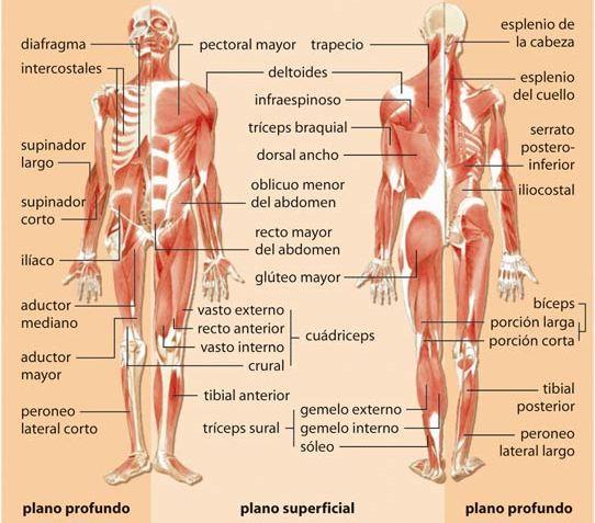Imagen Sistema Muscular