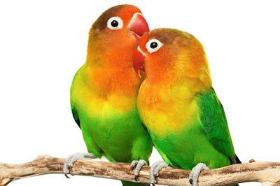 Tips Memelihara Burung Loveberd Yang Baik Dan Benar