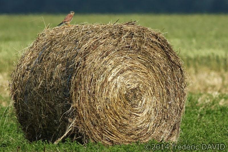 animaux oiseaux champ campagne faucon crécerelle Sénart Seine-et-Marne