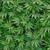 Cannabis - fattore negativo per la fertilità maschile