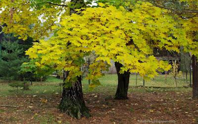 http://fotobabij.blogspot.com/2015/10/budziarze-jesienny-klon-tapeta-jesiemma.html