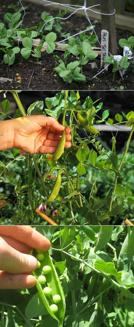 how to plant peas in a garden my favorite things
