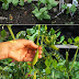 How to plant peas in a garden