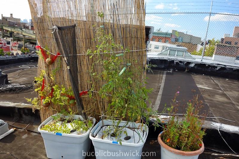 Bucolic bushwick friend or foe i 39 m thinking foe - Plant vegetable garden friends foes ...
