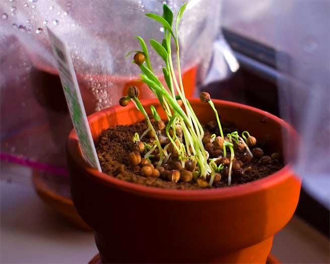 Agronom a como cultivar el cilantro - Como plantar marihuana en casa paso a paso ...
