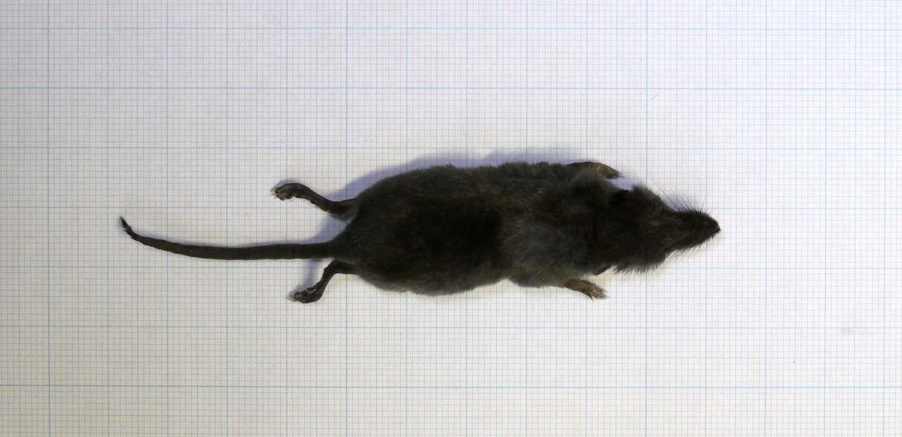 トガリネズミの画像 p1_17