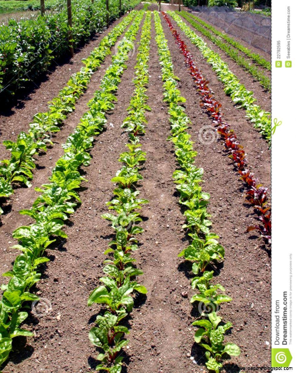 Vegetable Rows Inspiration 36296 Garden Ideas