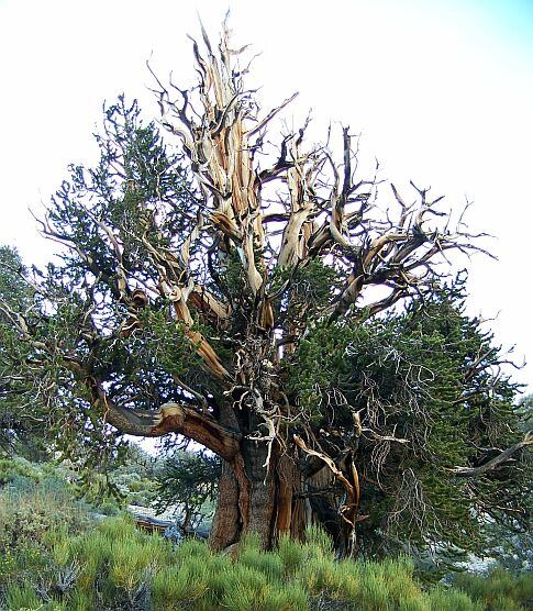bristlecone pine methuselah how to get there