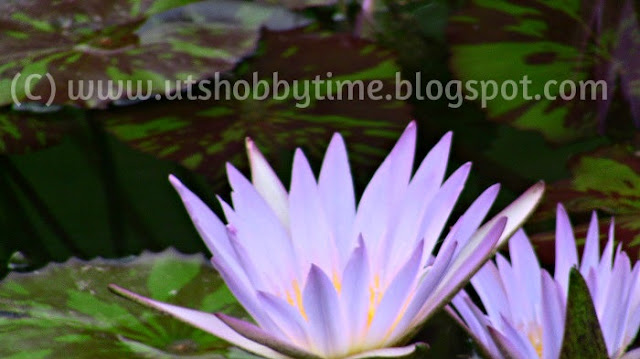 Lavender water lily photos