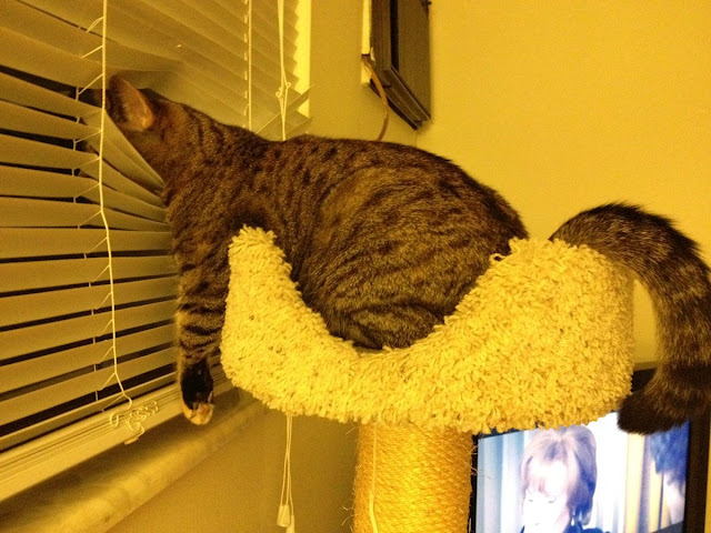 funny cat pictures, cat vs window blinds