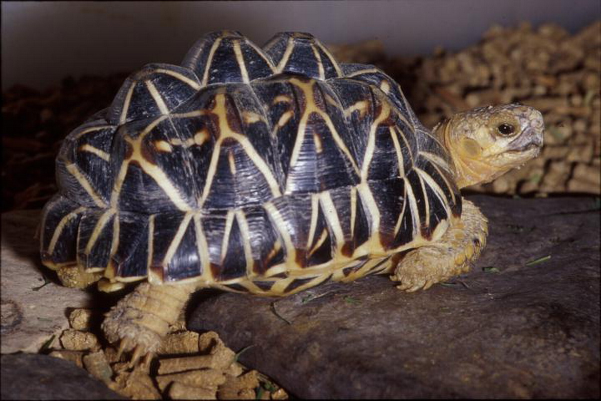 Animal wildlife indian star tortoise the indian star tortoise is a