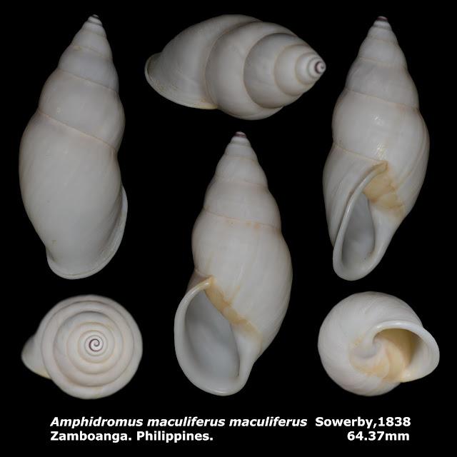 Amphidromus maculiferus maculiferus 64.37mm