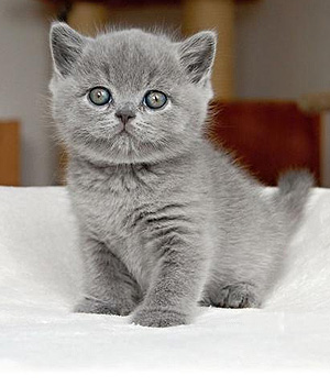 photo chaton british shorthair