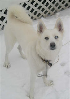 Siberian Husky Pictures 1