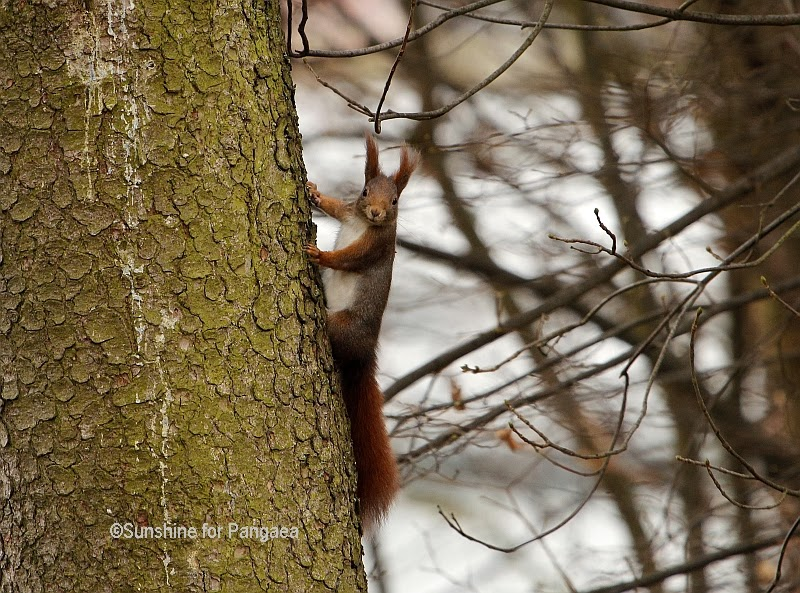 Red Squirrel on a forest tree