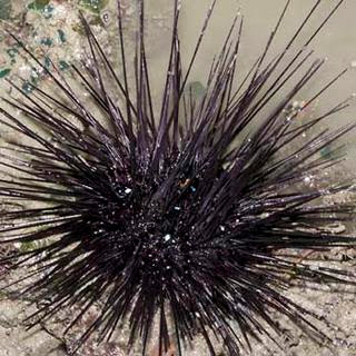 Knowing a Sea Urchins