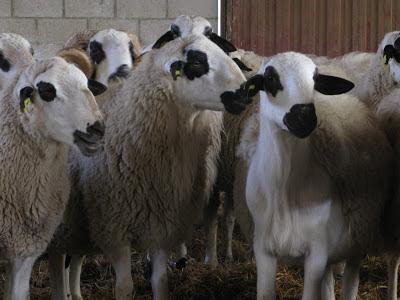 paradilla143 ovejas churras