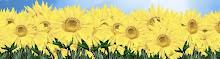 Sunflowers seek the Light