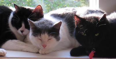 Three cats snuggling