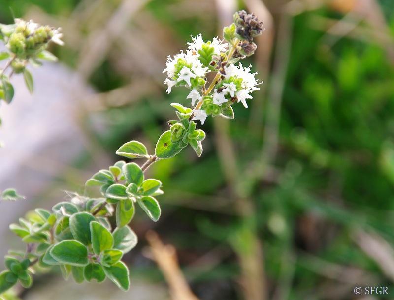 une fleur - blucat-  8 août trouvée par martine - Page 2 Origanum+majorana+Mediterranean+Native+Herb+for+Green+Roofs++%25283%2529