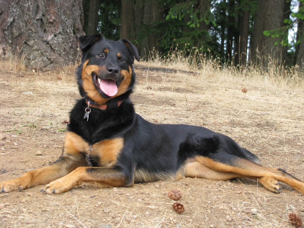 Retriever Labrador Border Collie Rottweiler Mix