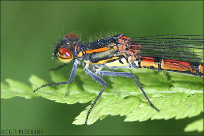 Ugunsspāre (Pyrrhosoma nymphula)