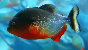 Big Piranha Fish