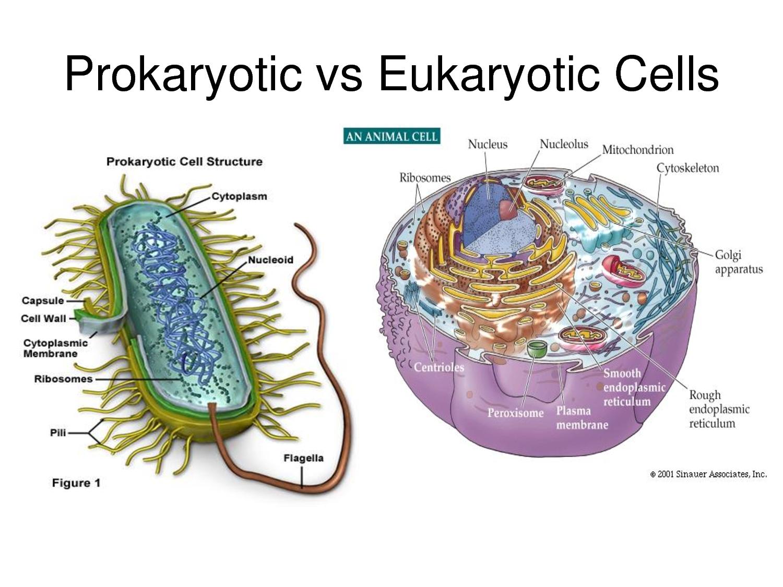 Origins of multi cellular life prokaryotic cells progenitors or prokaryotic vs eukaryotic cells sinauer association inc 2001 accessed 26042015 pooptronica Choice Image