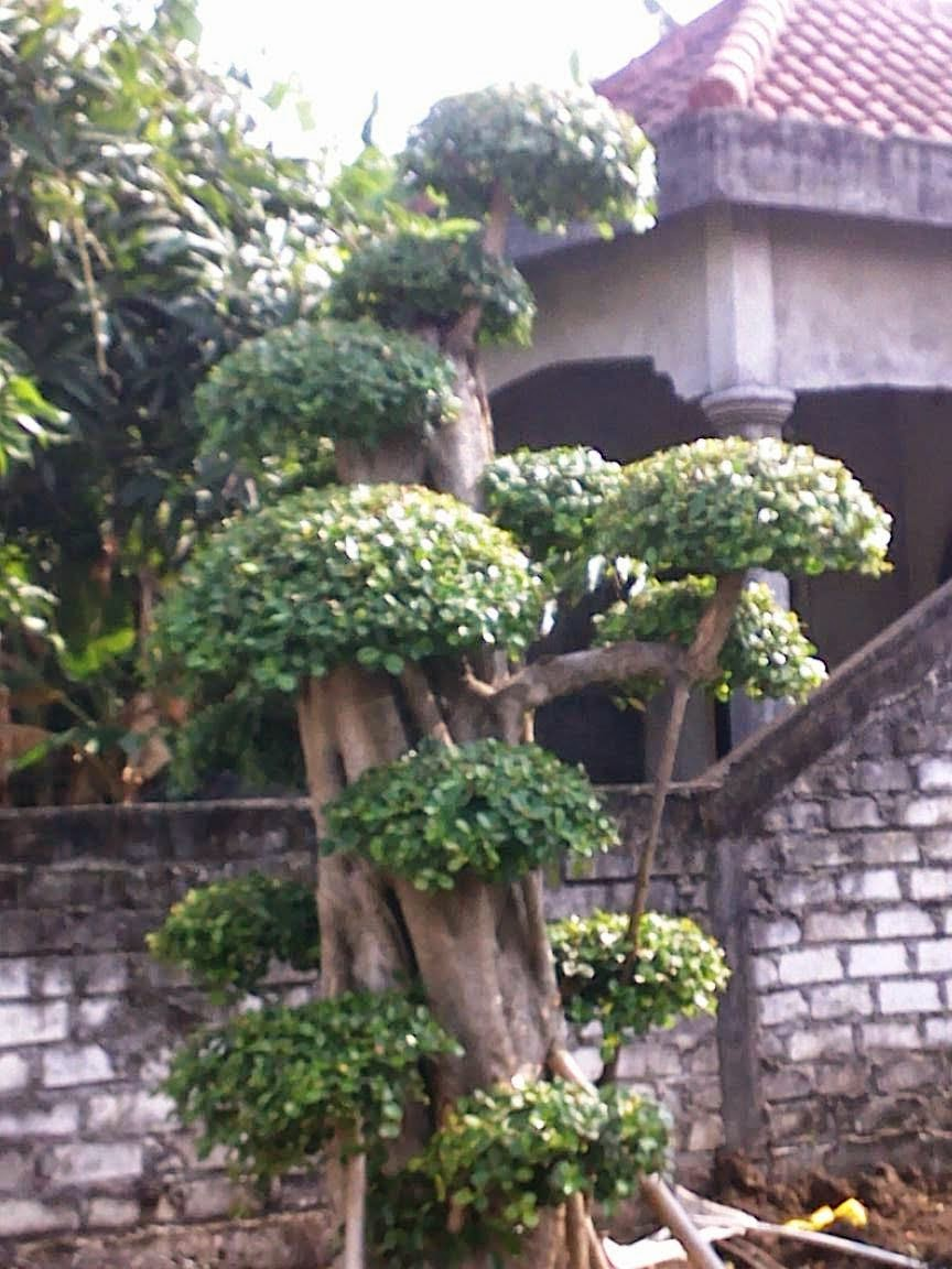 pohon dollar bonsai dollar arya flower