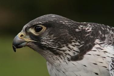 halcón gerifalte fase oscura