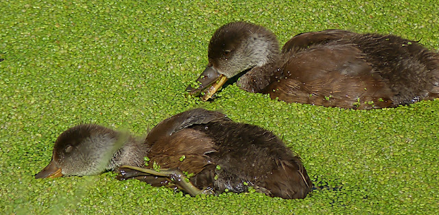 Juveniles de pato colorado (Netta rufina  ) comiendo lentejas de agua