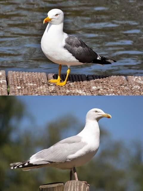 Lesser black-backed gull and European herring gull