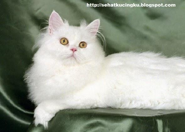 jenis-jenis kucing peliharaan, kucing peliharaan terbaik, kucing peliharaan, kucing peliharaan populer