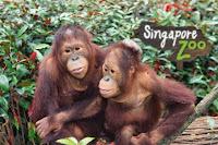 singapore zoo, kebung binatang singapura, Singapore Zoological Gardens, Mandai Zoo, wisata di singapore, simpanse, monyet, mesra,