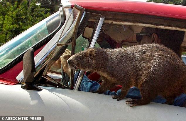 يركب حيوان الهوتيا السيارة مع العائلة