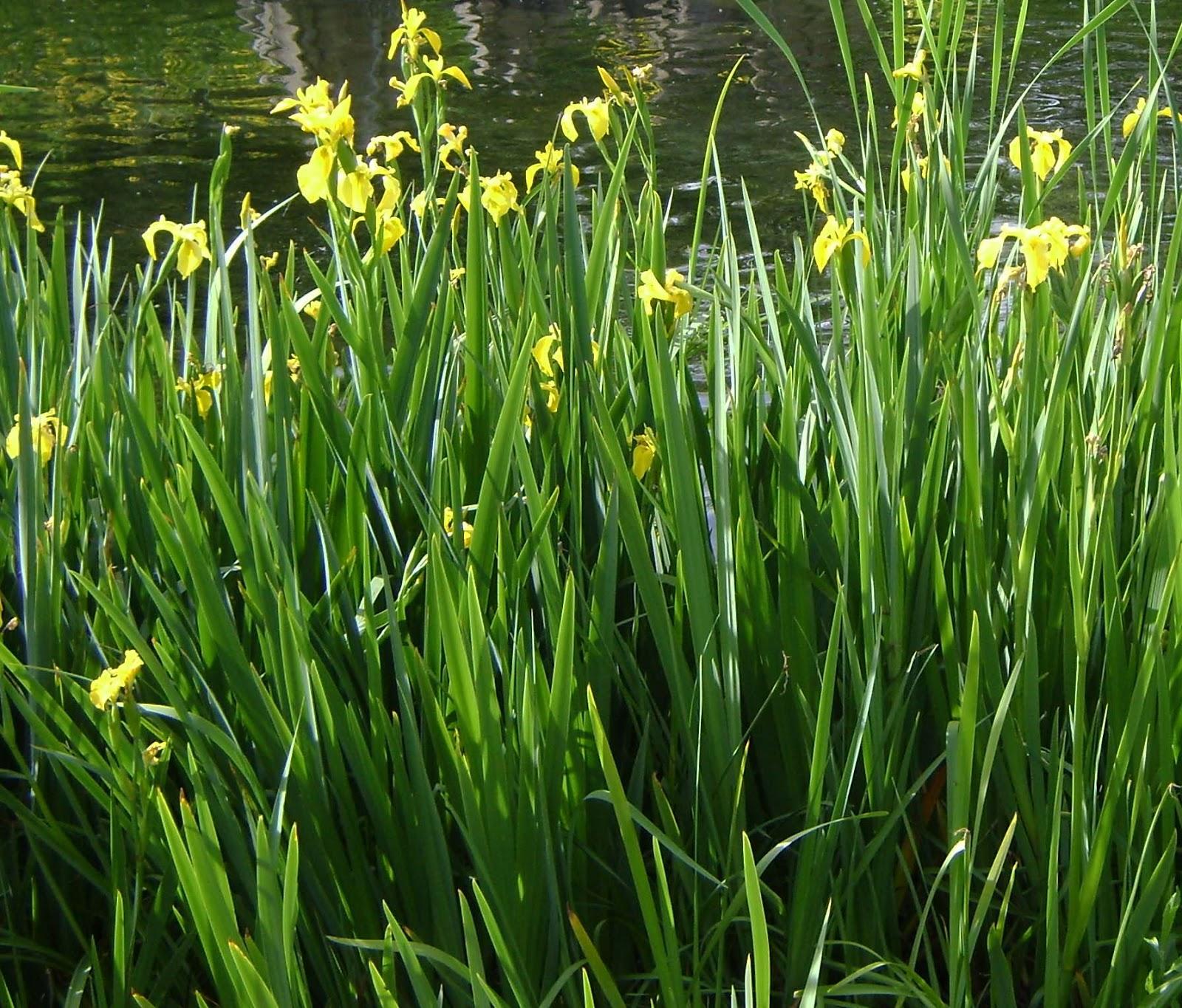 En El Jardin Iris O Lirios Todos Espectaculares