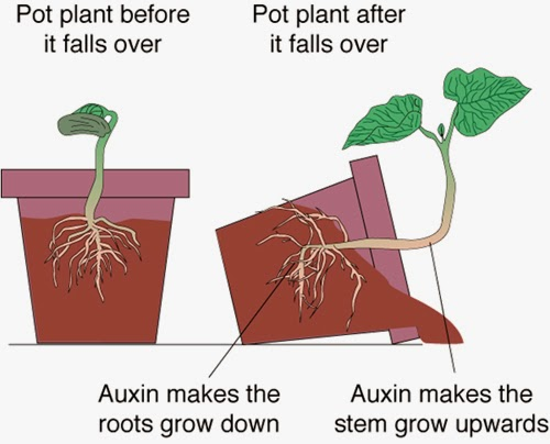 the importance of auxins in plant growth and root formation Auxin regulation of cytokinin biosynthesis in arabidopsis thaliana: a factor of potential importance for auxin root formation the plant's total.