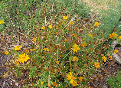 Annieinaustin, orange cosmos w seeds