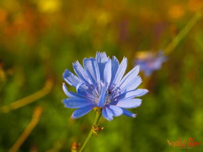 Floare albastra macro