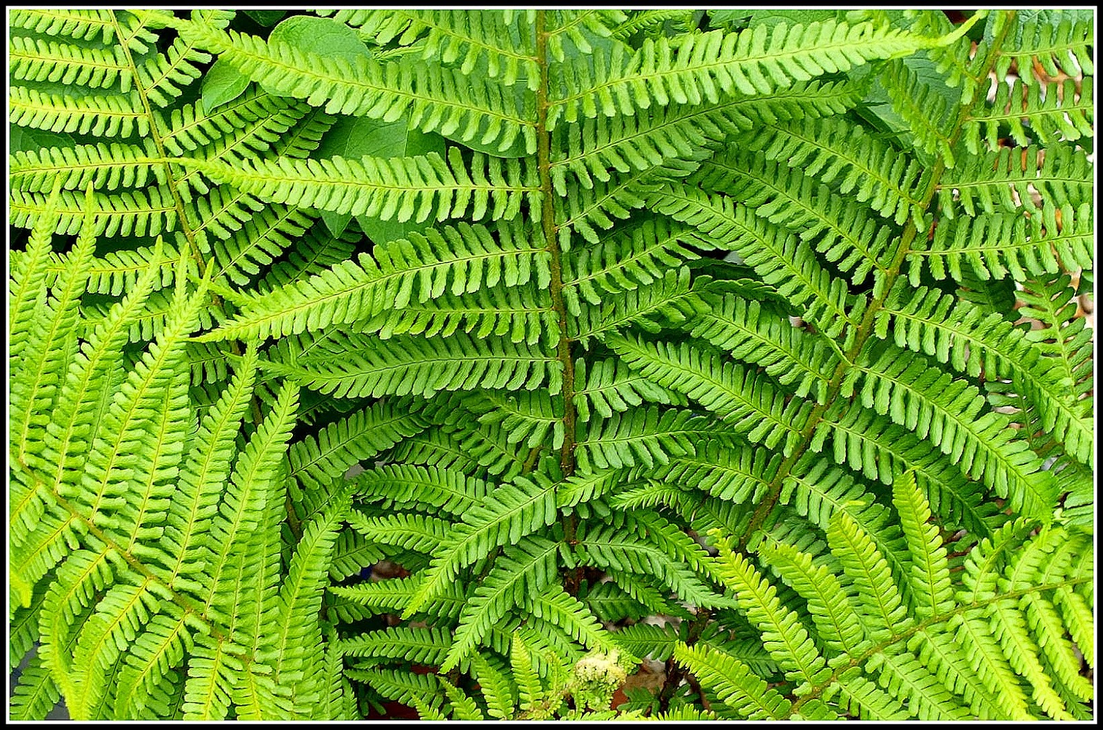 in my ignorance i used to think that ferns only grew well in damp shady conditions eg forests but i now know that is not true and many types of fern - Fern Types