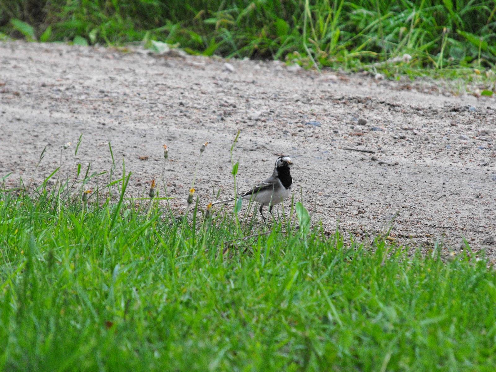 vackert fågelbo, Sösdala, fågelbo, Hässleholm, naturen, fåglar, Sädesärla