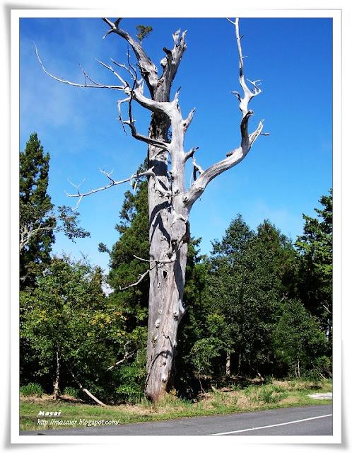 宜蘭太平山國家森林遊樂區-神木