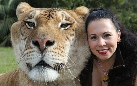 Ligar kombinacija tigra i lava