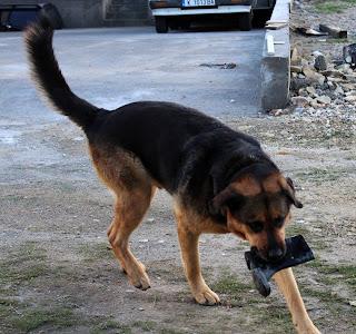 Rambo with his wellington boot