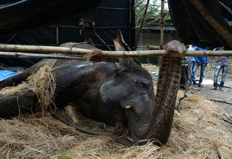 Mumbai Fights For Ailing Overworked Elephant's Life