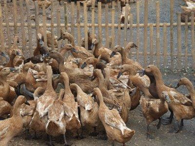 usaha ternak ayam jawa exceptional