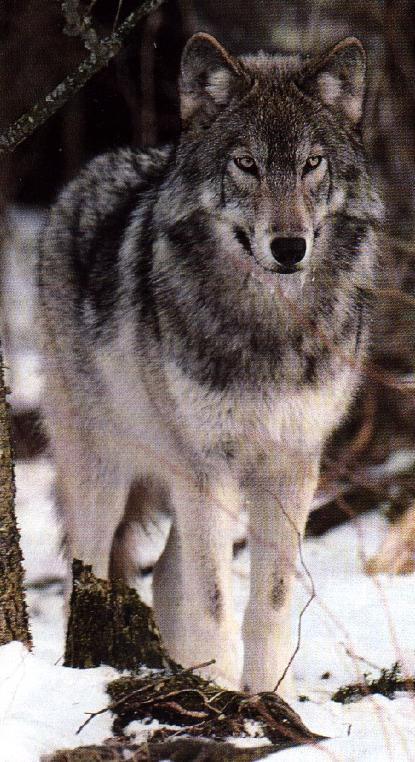 Greywolf canis lupus