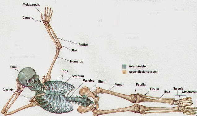 Environmental Health Student Blog: BASIC SKELETAL SYSTEM AND IT FUNCTION