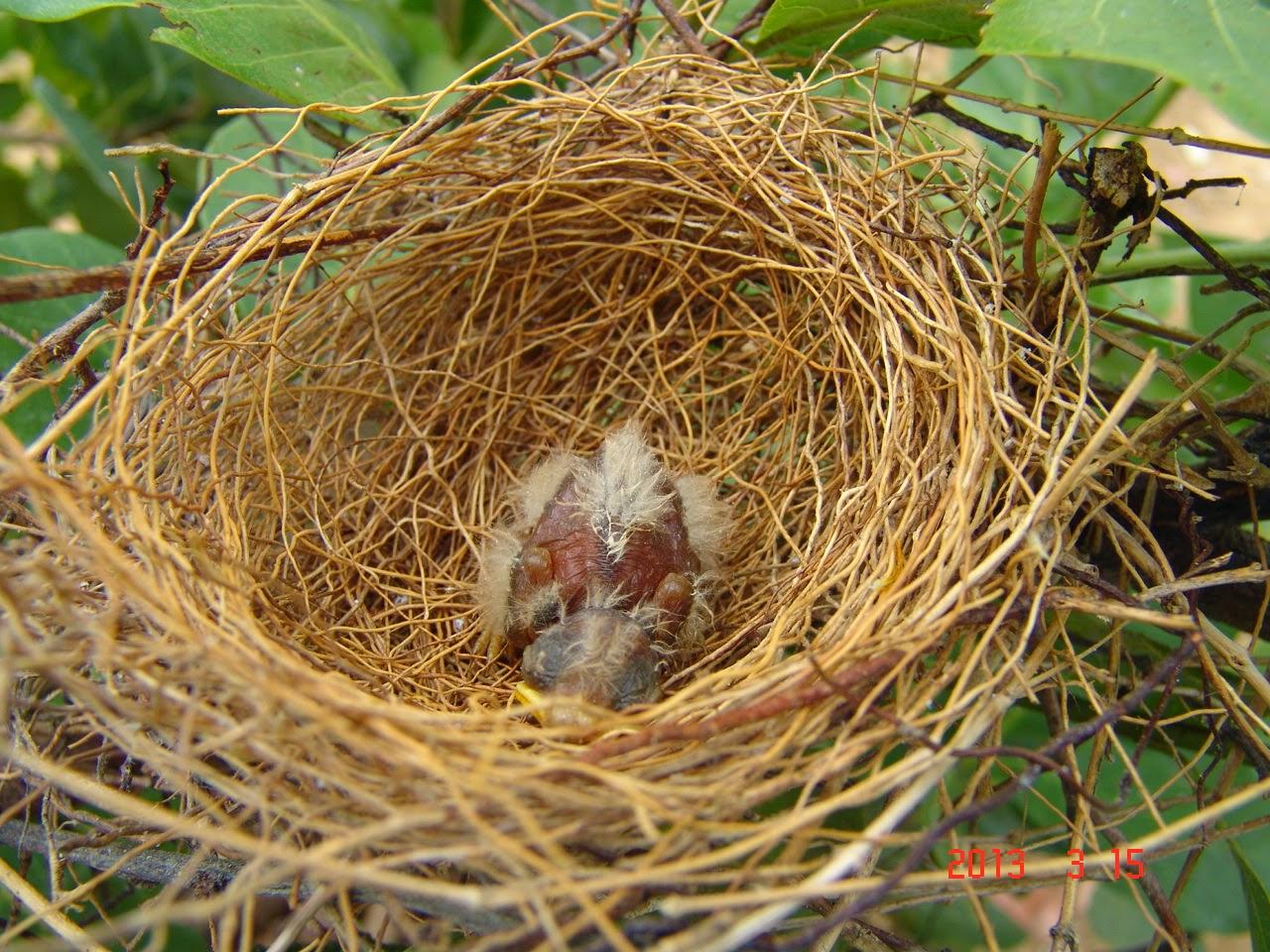 O pequeno filhote de passáro no ninho