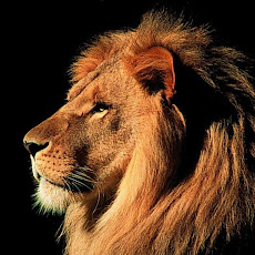 gambar singa, foto singa, wallpaper singa